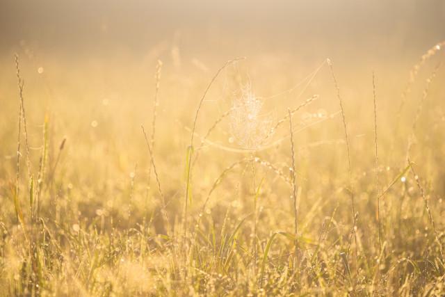 Altweibersommer-Wiese im Morgenlicht